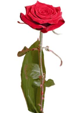rosa22.jpg